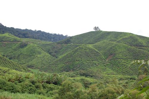 Cameron Highlands Sungei Palas Boh Tea Plantation