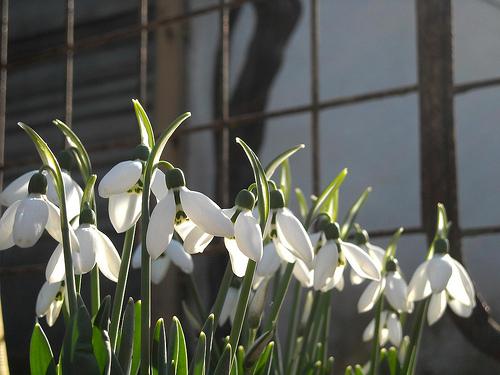 Lilies by laurentzziu