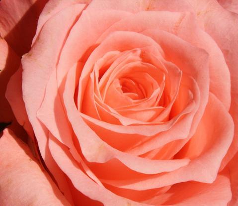 Roses by Andrea Kratzenberg