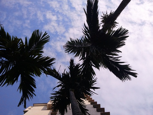 palm or coconut trees?