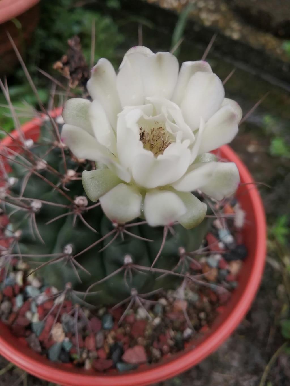 Flowering Gymnocalycium Borthii Cactus